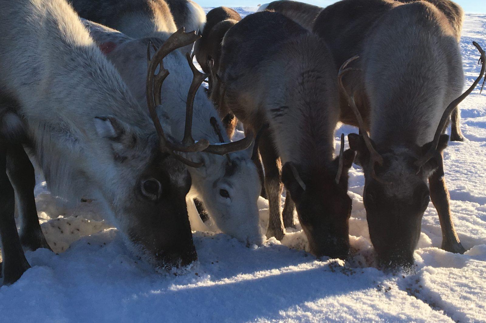 Arctic Land Adventure porot tunturissa