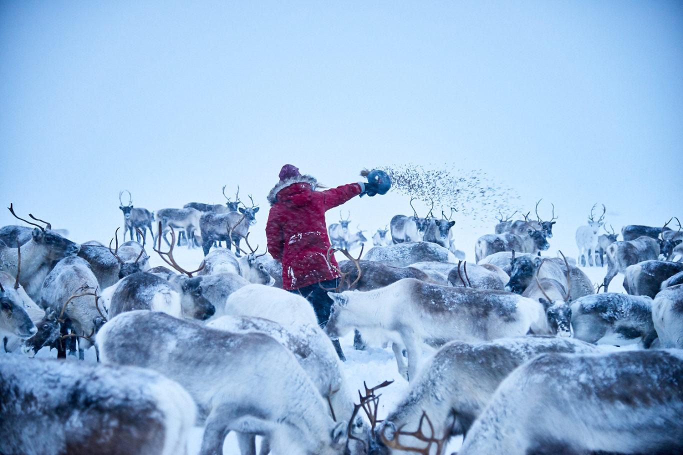 Arctic Land Adventure porot tunturissa poroemäntä